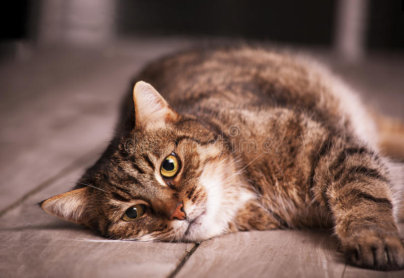 Repos européen de chat de shorthair images stock