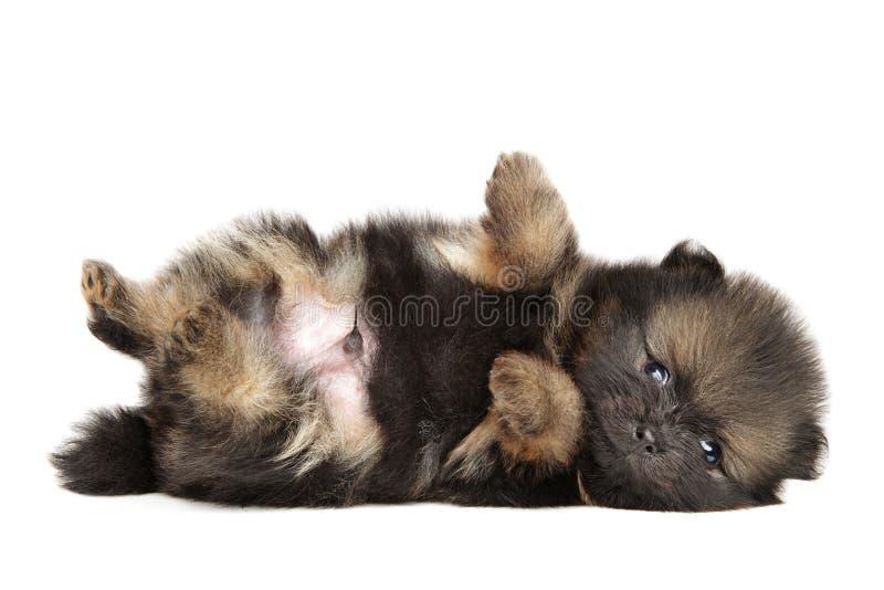 Repos minuscule de chiot de Spitz de Pomeranian image libre de droits