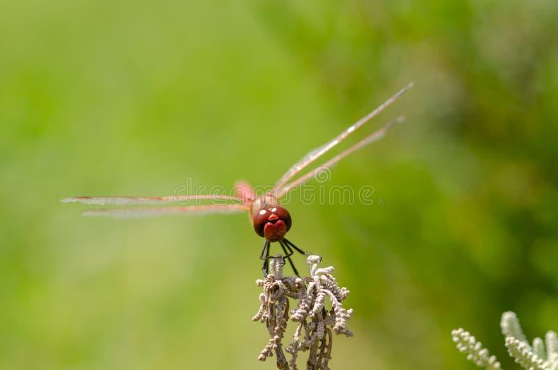 Repos rouges de libellule sur la feuille Fond brouillé photo libre de droits