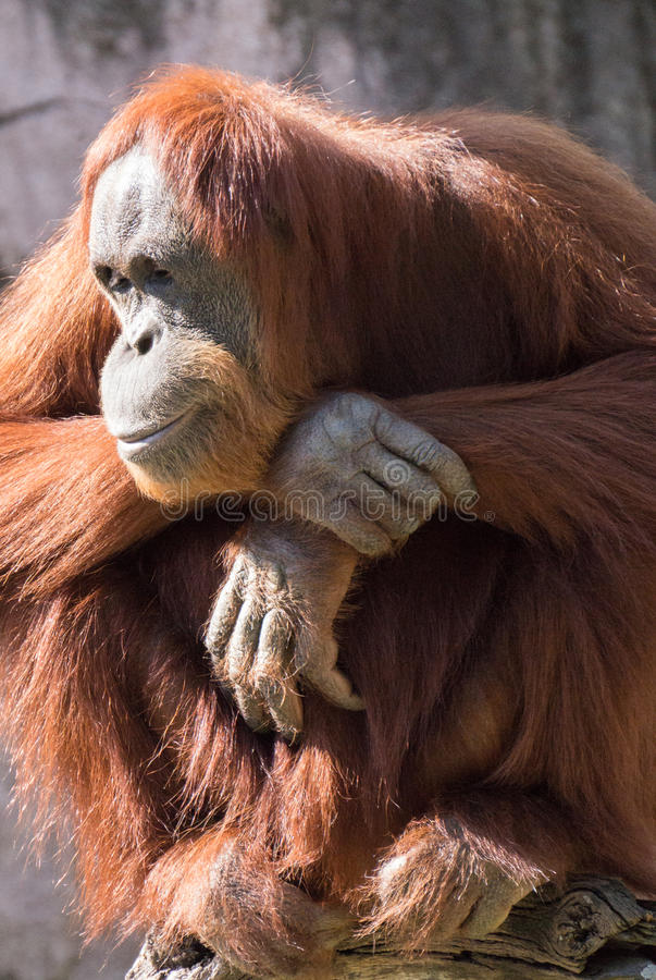 In Repose. Adult Orangutan sitting in relaxed contemplation in the sun royalty free stock photography