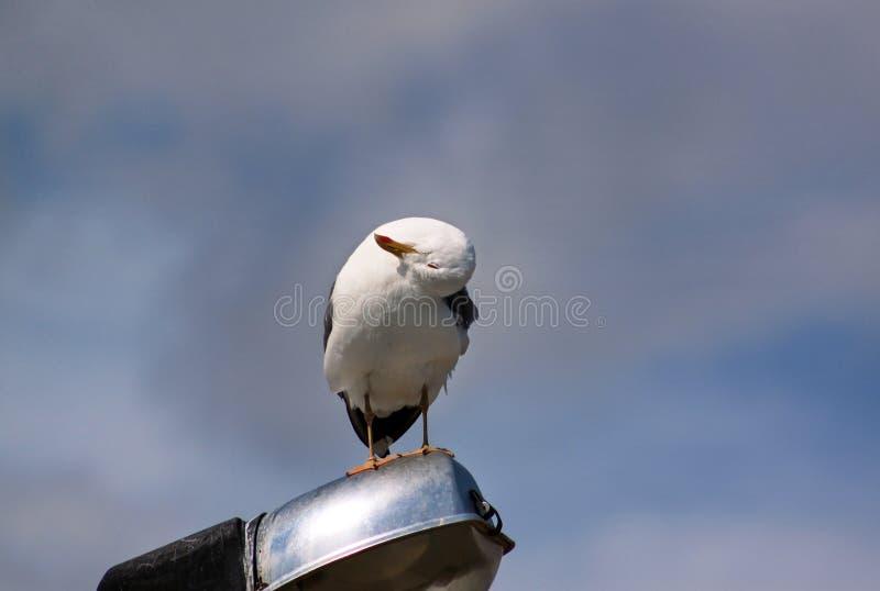 Repose-toi et repose sur un poteau d'éclairage, nettoie ses plumes, répand ses ailes et se prépare pour le vol photographie stock libre de droits