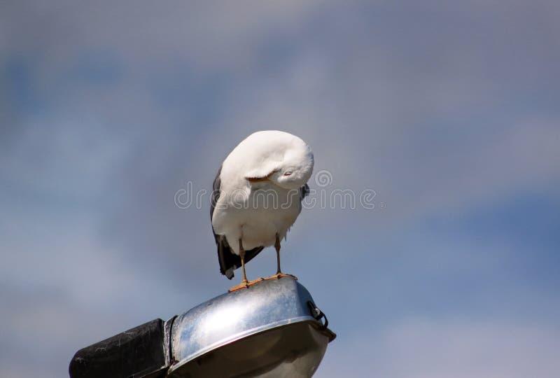 Repose-toi et repose sur un poteau d'éclairage, nettoie ses plumes, répand ses ailes et se prépare pour le vol image libre de droits