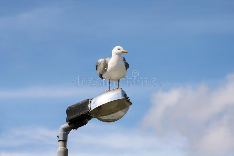 Repose-toi et repose sur un poteau d'éclairage, nettoie ses plumes, répand ses ailes et se prépare pour le vol images libres de droits