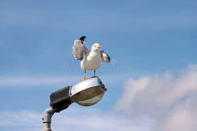 Repose-toi et repose sur un poteau d'éclairage, nettoie ses plumes, répand ses ailes et se prépare pour le vol photographie stock