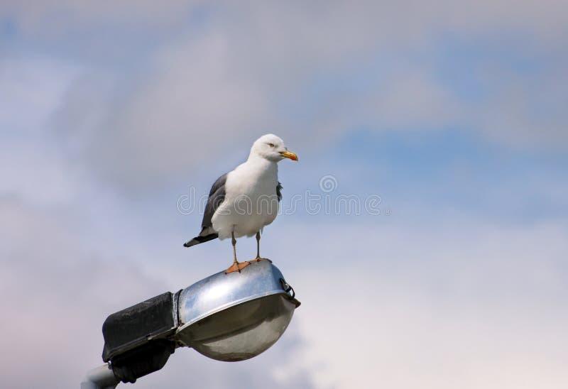 Repose-toi et repose sur un poteau d'éclairage nettoyant ses plumes, étalant ses ailes et se préparant pour le vol image libre de droits
