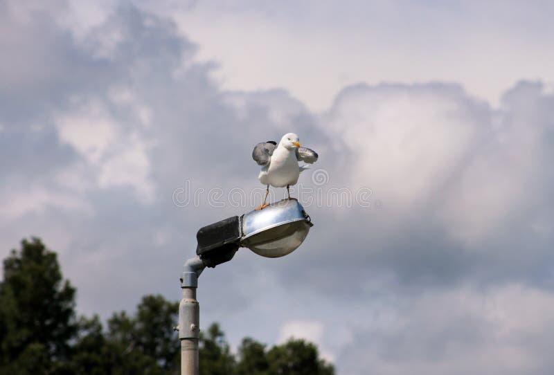 Repose-toi et repose sur un poteau d'éclairage nettoyant ses plumes, étalant ses ailes et se préparant pour le vol photos libres de droits