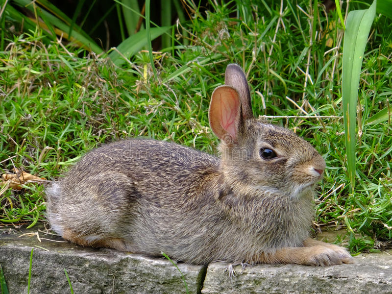 In Repose. Wild baby rabbit resting on stone wall among the grasses stock images