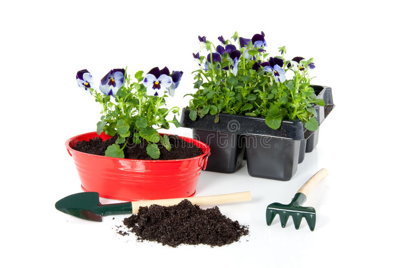 Repot violet blue pansy stock images