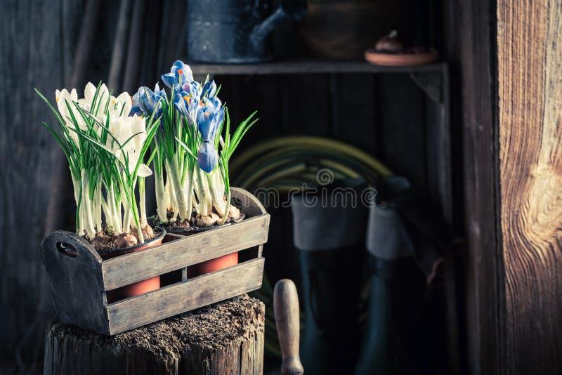 Repotting av en färgglad hyacint och av gamla lerakrukor arkivbilder
