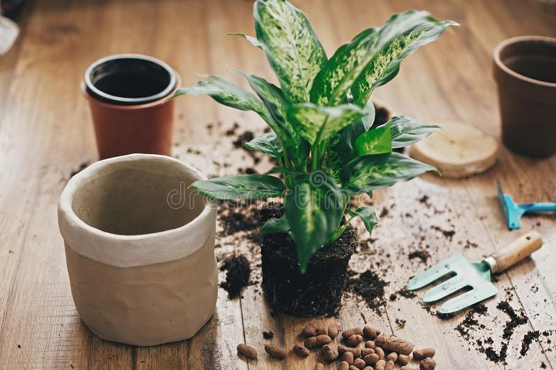 Repotting plant concept. Dieffenbachia plant in soil with gardening stylish tools, ground ,drainage and clay pots on wooden floor. Preparing for repotting royalty free stock image