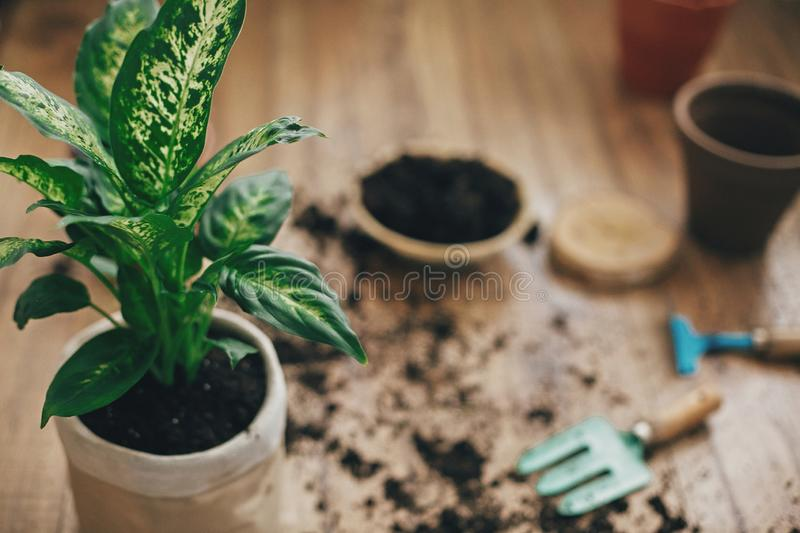 Repotting plant concept. Dieffenbachia plant potted with new soil into new modern pot, and gardening stylish tools, ground ,clay. Pots on wooden floor stock photography