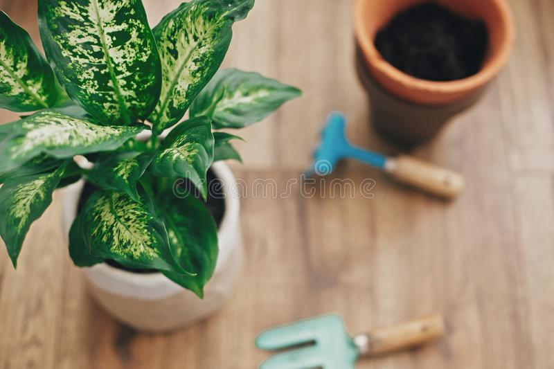 Repotting plant concept. Dieffenbachia plant potted with new soil into new modern pot, and gardening stylish tools, and old clay. Pots on wooden floor stock photos