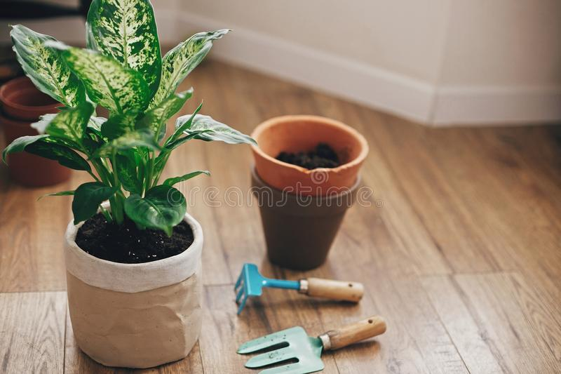 Repotting plant concept. Dieffenbachia plant potted with new soil into new modern pot, and gardening stylish tools, and old clay. Pots on wooden floor royalty free stock image
