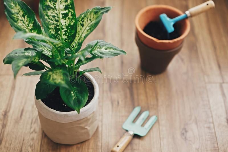 Repotting plant concept. Dieffenbachia plant potted with new soil into new modern pot, and gardening stylish tools, and old clay. Pots on wooden floor stock images