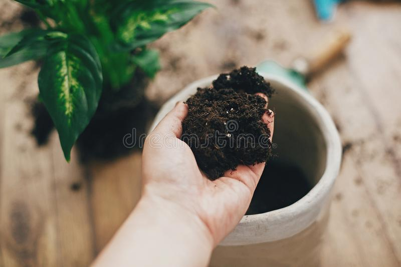 Repotting plant concept. Dirty hand holding new soil at empty new pot and gardening stylish tools, green plant on wooden floor. Preparing for repotting royalty free stock photography