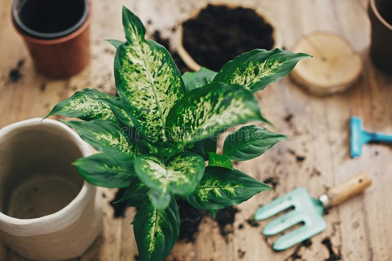Repotting plant concept. Dumbcane plant in soil with gardening stylish tools, ground and clay pots on wooden floor. Preparing for. Repotting dieffenbachia into stock image