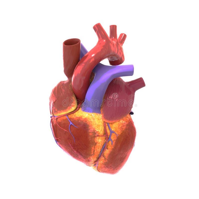 Représentation d'un coeur humain, illustration 3d illustration de vecteur