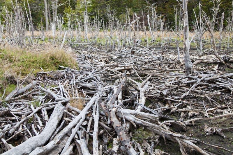 Represa do castor no parque nacional de Terra do Fogo imagem de stock
