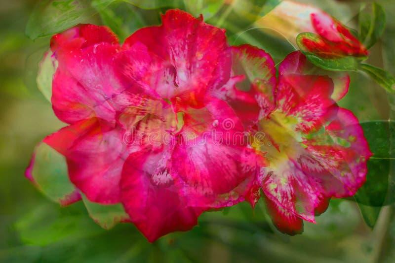 Representación abstracta de racimos de rosas de desierto en flor foto de archivo