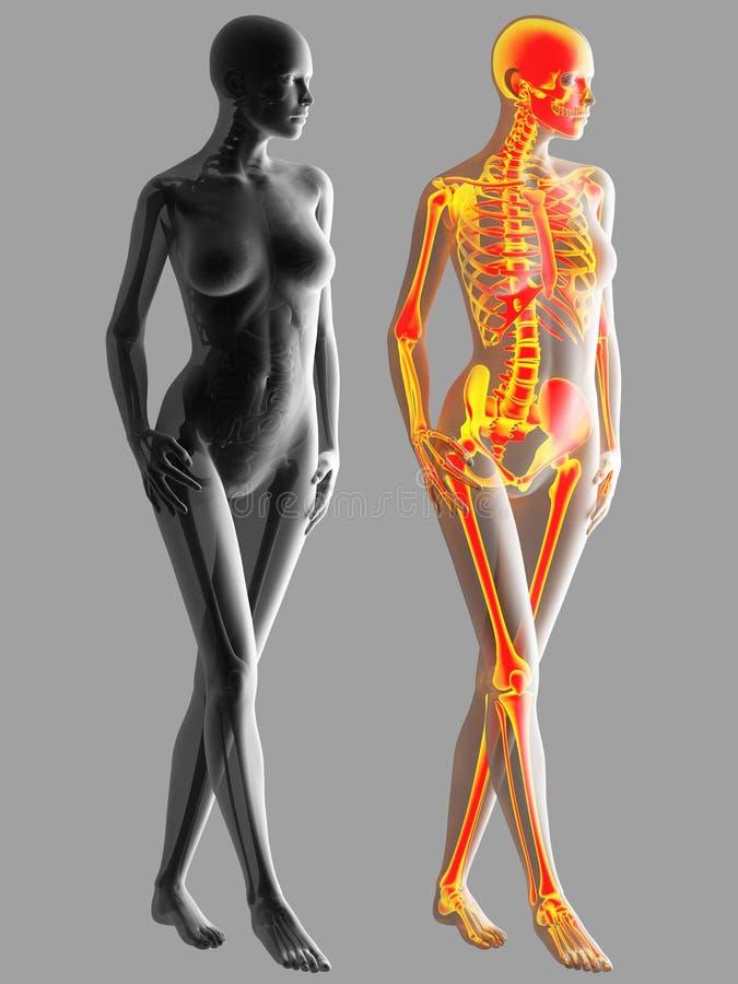 representación 3d del hueso del cuerpo humano libre illustration