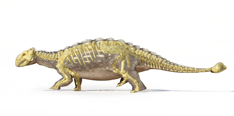 Representación fotorrealista 3D de un Ankylosaurus, con el esqueleto lleno sobrepuesto. libre illustration