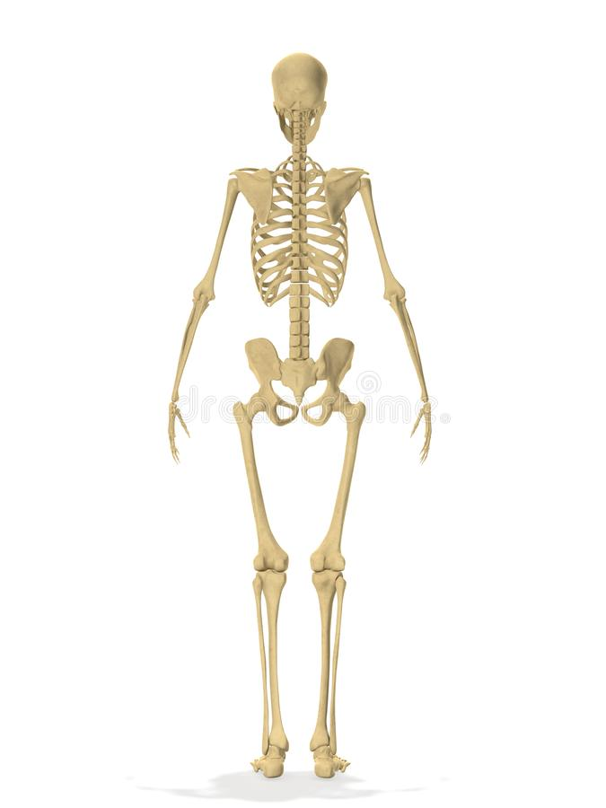 Representación lateral esquelética humana de la parte posterior 3d stock de ilustración