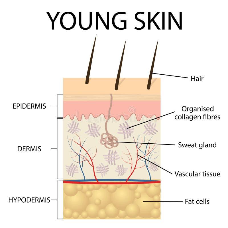 Representación visual de la piel joven stock de ilustración