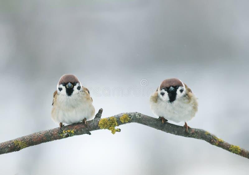 Represente dos pequeños pájaros divertidos de los gorriones en rama en jardín en a foto de archivo