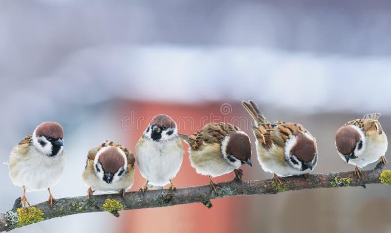 Represente muchos pequeños gorriones divertidos de los pájaros en una rama en el Gard fotos de archivo