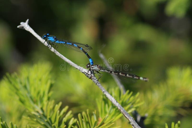 Reprodução da mosca da ameixa fotos de stock
