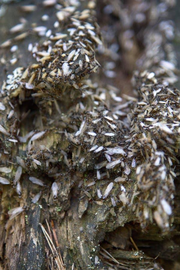 reprodução das formigas imagem de stock