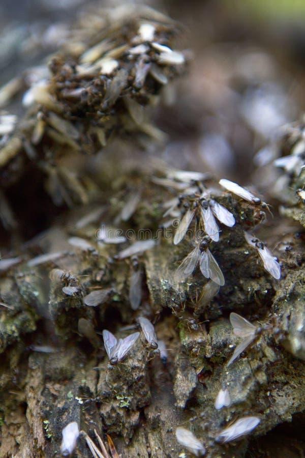 reprodução das formigas imagem de stock royalty free