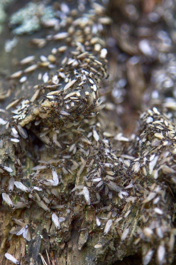 reprodução das formigas imagens de stock royalty free