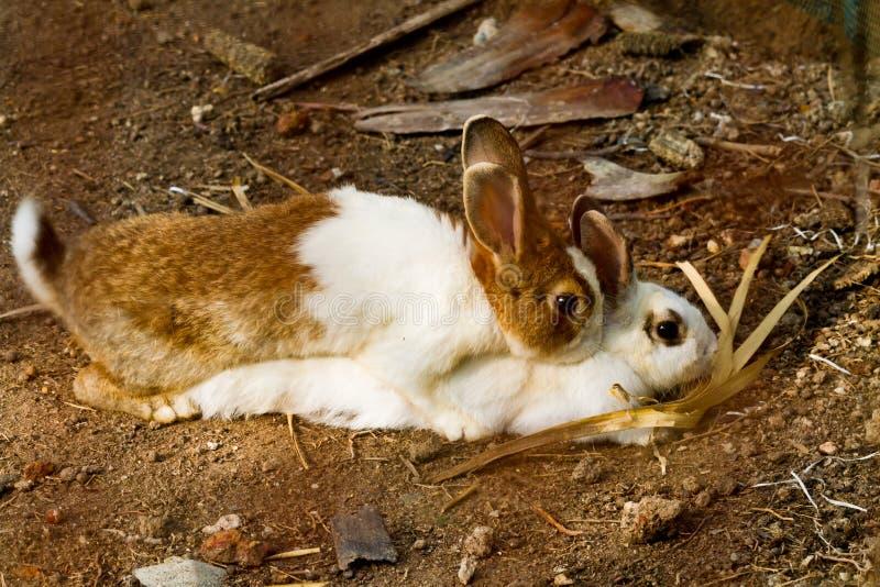 Reprodução do coelho imagens de stock royalty free