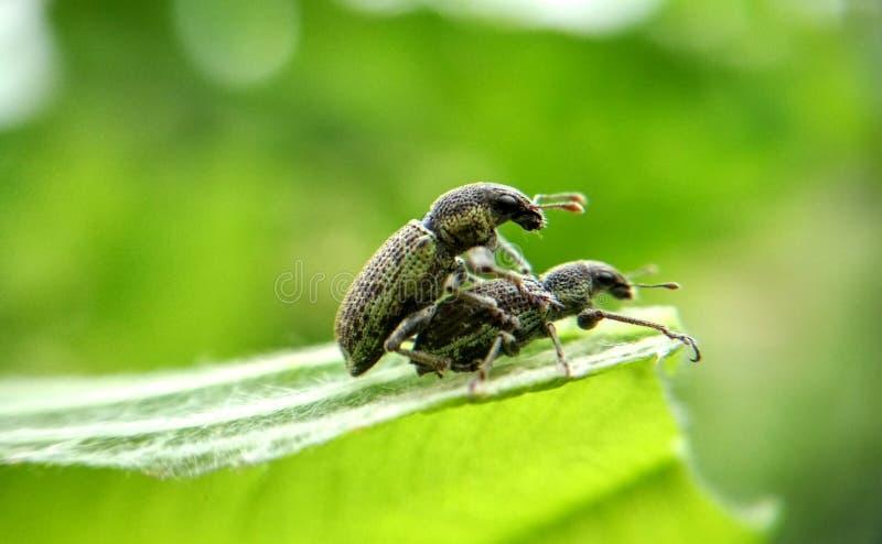 reprodução do inseto fotografia de stock