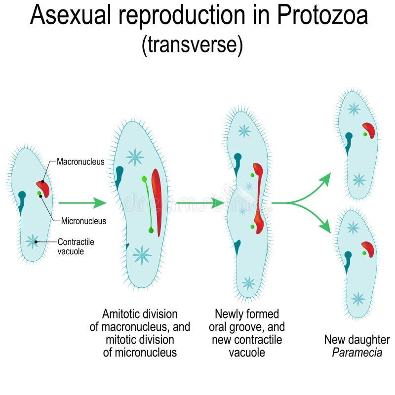 Reproduction asexuelle en protozoaires Division de paramécies illustration de vecteur
