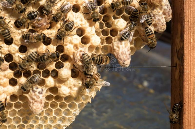 Reproduction of bee queens. Production of queen bees in the season stock photography
