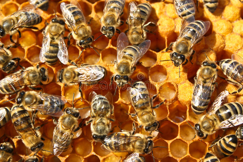 Download Reproduction Of Bees Stock Photos - Image: 16594213