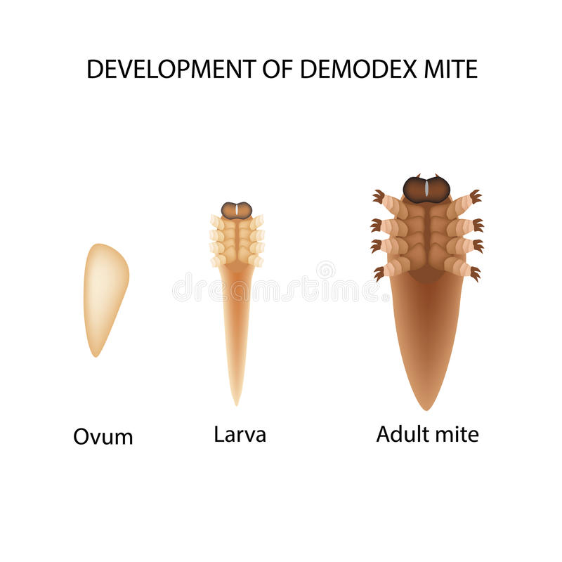 Reproduction of the mite Demodex. Larva, adult. Demodecosis. Infographics. Vector illustration on isolated background. vector illustration