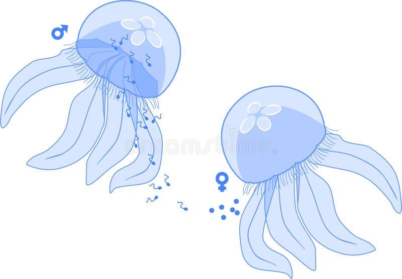 Reproduction sexuelle dans les méduses : production des gamètes masculines et femelles illustration stock