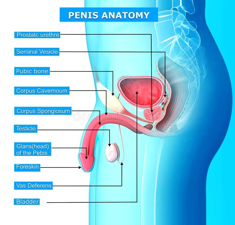 Reproduktionssystem Des Mannes Stock Abbildung - Illustration von ...