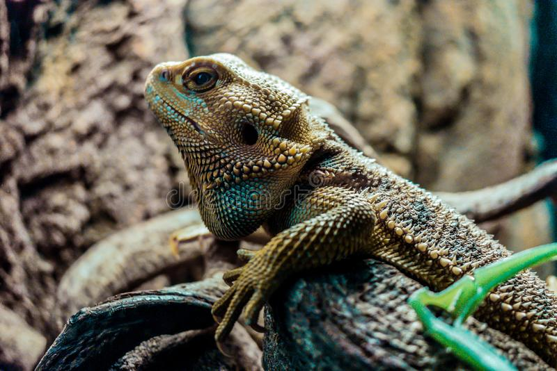 Reptiel: Gebaarde Draak stock afbeeldingen