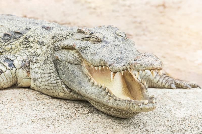 Reptiel open de mond van het krokodil het dierlijke wild rusten stock fotografie