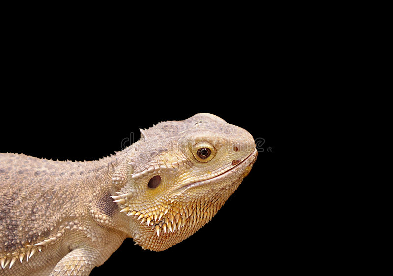 Reptiel Portret royalty-vrije stock foto