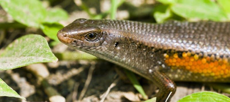 Reptil lizenzfreie stockfotografie