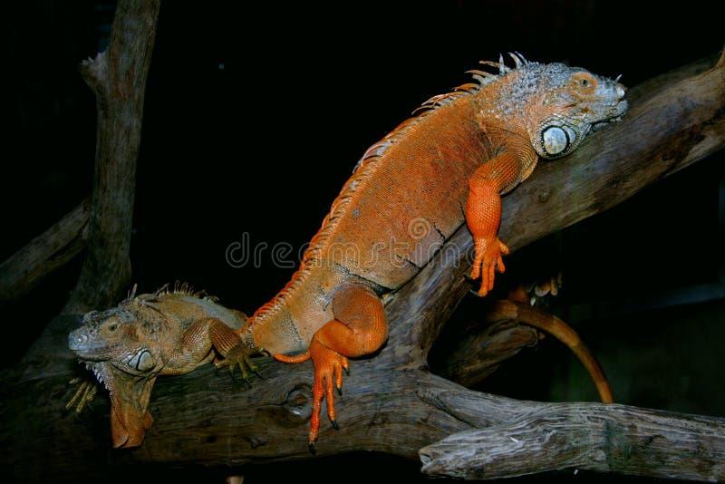 Reptil stockfotos