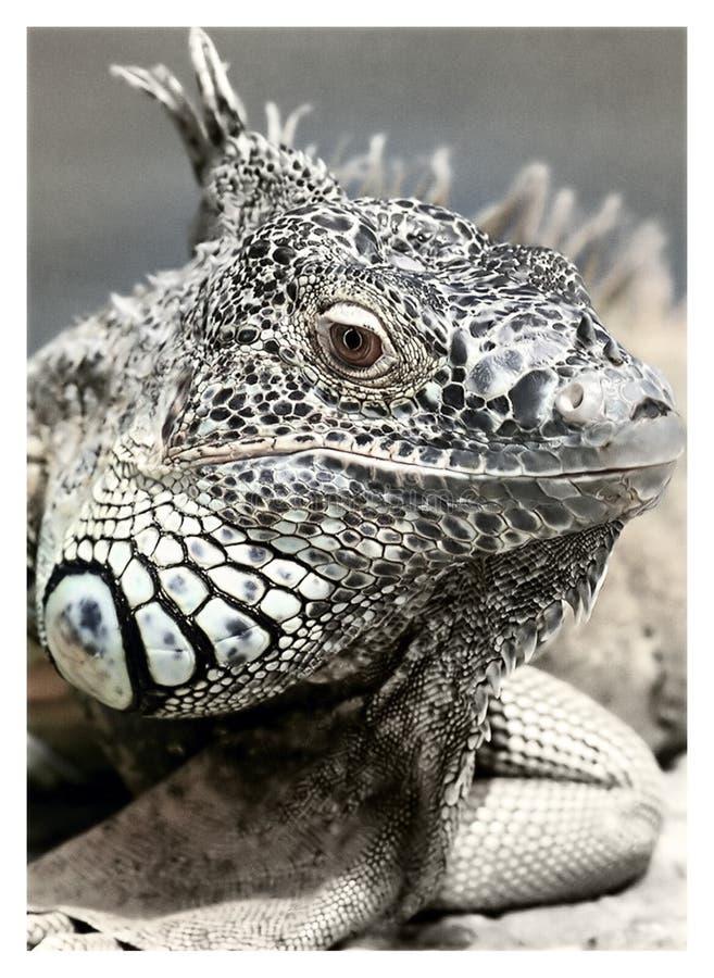 Reptil blanco y negro en Photgraphy macro foto de archivo