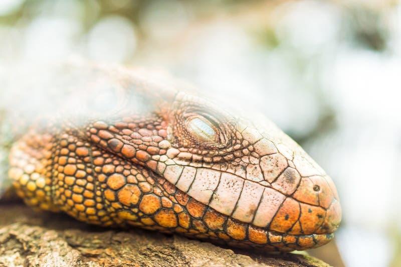 Reptil de la iguana que duerme en el árbol fotos de archivo libres de regalías