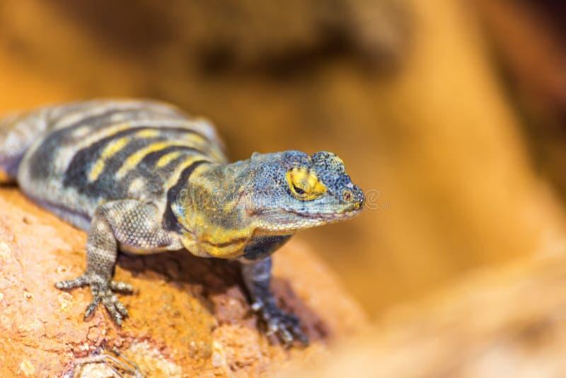 Reptil de la naturaleza del parque zoológico de la fauna del lagarto imagen de archivo