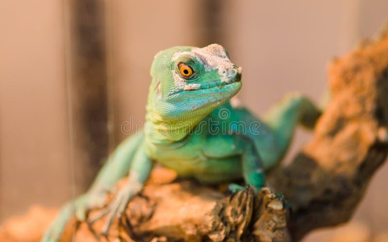 Reptil ist der gemeine Basilisk, der auf einem Baum an einem Haustierspeicher sitzt lizenzfreie stockbilder